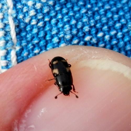 Picnic beetleon RikenMon's Nature-Guide