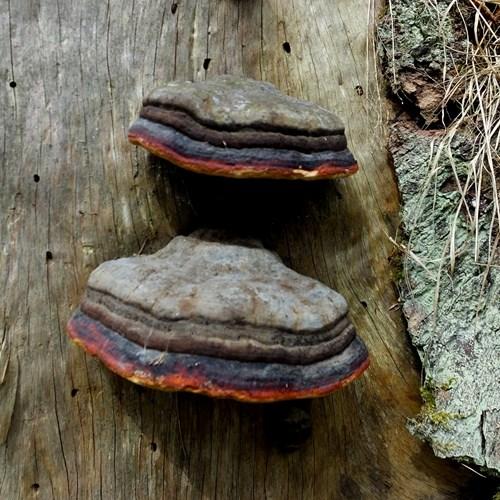 Roodgerande houtzwam op RikenMon's Natuurgids
