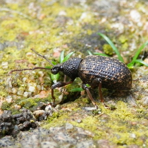 Vine weevilon RikenMon's Nature-Guide