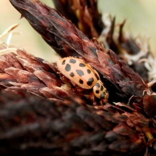 Anisosticta novemdecimpunctata [L.]on RikenMon's Nature-Guide