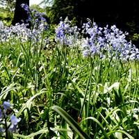 Hyacinthoides x massartiana