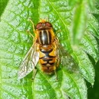 Parhelophilus versicolor