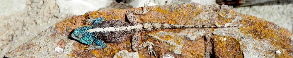 Nature-guide information on finding reptiles and amphibian.